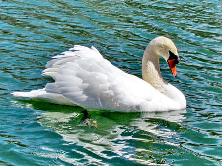 The mute swan on the Lake Ontario in Toronto, Canada