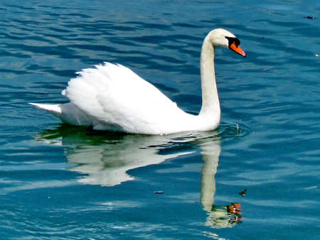 The mute swan swimming on the Lake Ontario in Toronto, Canada, April 14, 2015