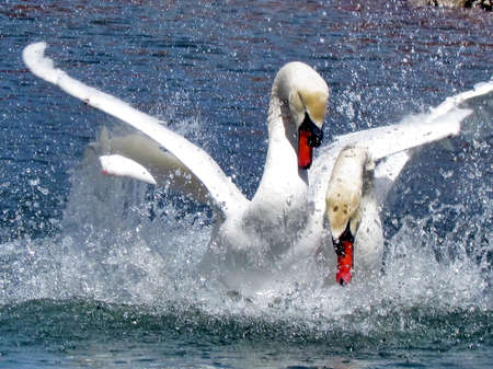 The mute swans on the Lake Ontario in Toronto, Canada, April 14, 2015