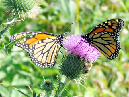 Monarch butterflies on lesser burdock flower on a shore of the Lake Ontario in Toronto, Canada, September 25, 2014 Imagens