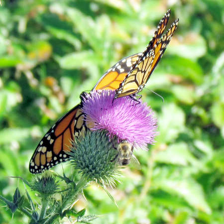 Monarch butterflies on the lesser burdock flower on a shore of the Lake Ontario in Toronto, Canada Banco de Imagens - 93210100