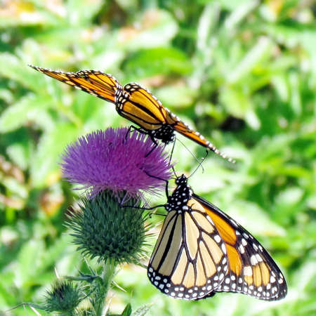 The Monarch butterflies on a lesser burdock flower on a shore of the Lake Ontario in Toronto, Canada, September 25, 2014 Banco de Imagens - 93080058
