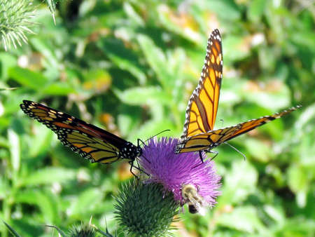 The Monarch butterflies on lesser burdock flower on a shore of the Lake Ontario in Toronto, Canada, September 25, 2014 Banco de Imagens