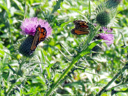 The Monarch butterflies on lesser burdock flowers on a shore of the Lake Ontario in Toronto, Canada