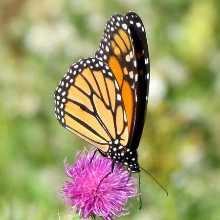 Monarch butterfly on a lesser burdock flower on a shore of the Lake Ontario in Toronto, Canada, October 9, 2013 Banco de Imagens - 93090672