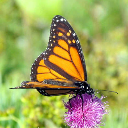 Monarch butterfly on lesser burdock flower on a shore of the Lake Ontario in Toronto, Canada, October 9, 2013