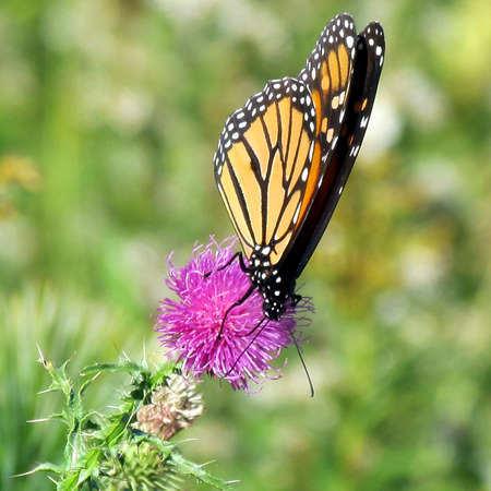 Monarch butterfly on the lesser burdock flower on a shore of the Lake Ontario in Toronto, Canada, October 9, 2013
