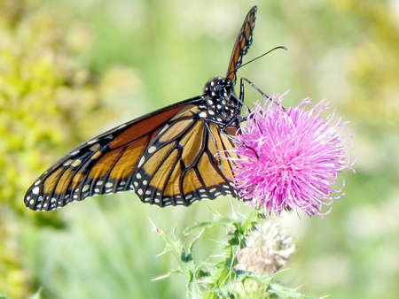 The Monarch butterfly on a lesser burdock flower on a shore of the Lake Ontario in Toronto, Canada Banco de Imagens - 93210126