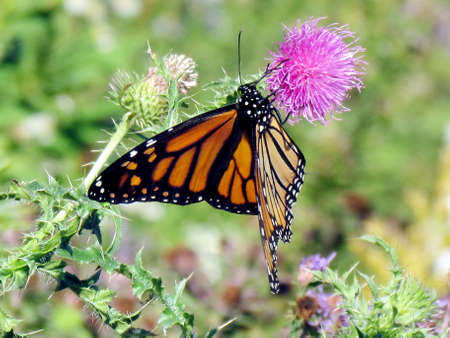 The Monarch butterfly on lesser burdock flower on a shore of the Lake Ontario in Toronto, Canada, October 9, 2013
