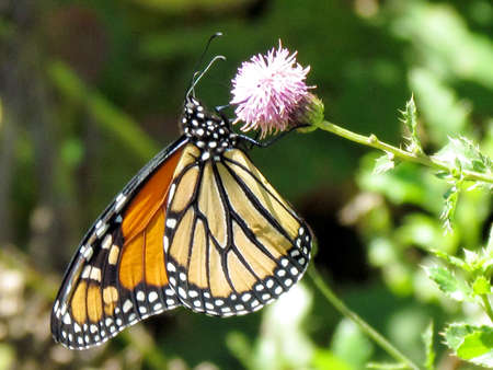 Monarch butterfly on lesser burdock flower on a shore of the Lake Ontario in Toronto, Canada, September 25, 2014 Imagens