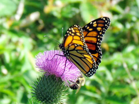 Monarch butterfly on the lesser burdock flower on a shore of the Lake Ontario in Toronto, Canada, September 25, 2014 Banco de Imagens - 93114075