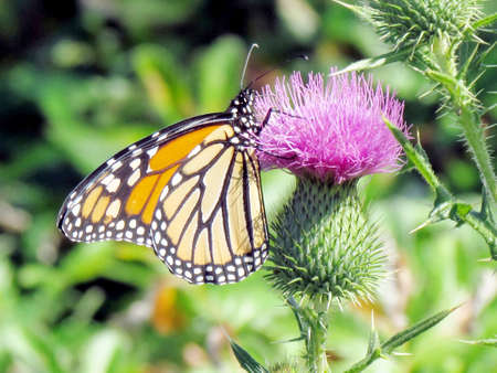 The Monarch butterfly on a lesser burdock flower on a shore of the Lake Ontario in Toronto, Canada, September 25, 2014 Banco de Imagens