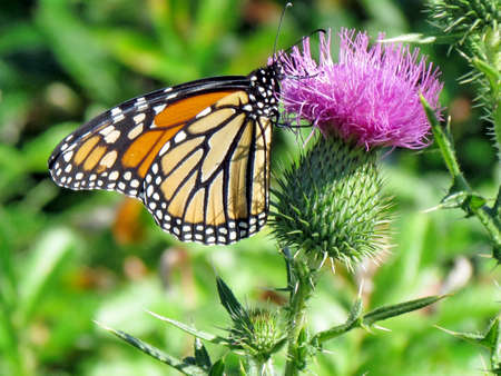 The Monarch butterfly on lesser burdock flower on a shore of the Lake Ontario in Toronto, Canada, September 25, 2014 Banco de Imagens - 93217051