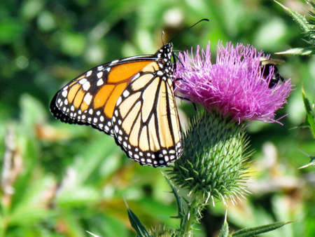 The Monarch butterfly on the lesser burdock flower on a shore of the Lake Ontario in Toronto, Canada, September 25, 2014 Banco de Imagens - 93204261