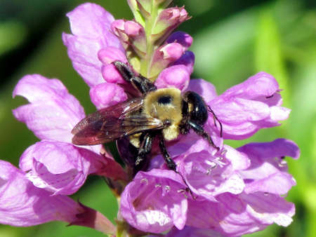 Bumblebee on Stachys pradica flower on a shore of the Lake Ontario in Toronto, Canada Banco de Imagens