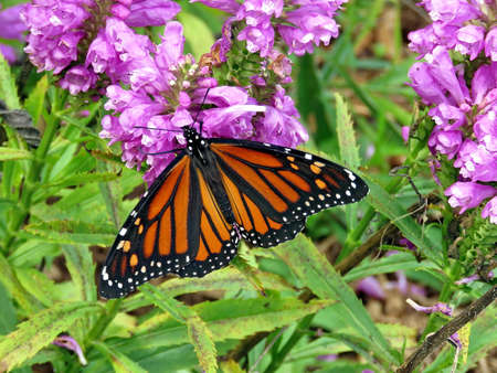 Monarch butterfly on a Stachys pradica flower on a shore of the Lake Ontario in Toronto, Canada, October 10, 2017