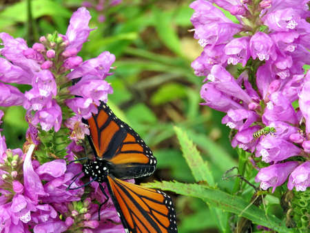 Monarch butterfly on Stachys pradica flower on a shore of the Lake Ontario in Toronto, Canada, October 10, 2017