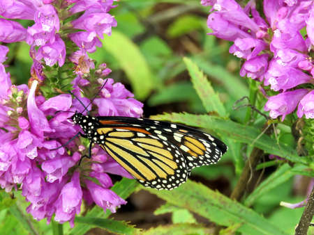 Monarch butterfly on Stachys pradica flowers on a shore of the Lake Ontario in Toronto, Canada, October 10, 2017 Imagens