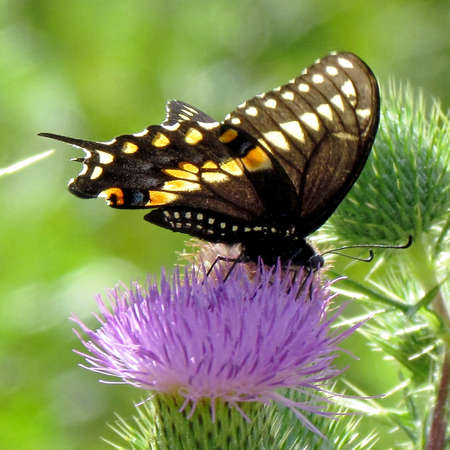 Swallowtail butterfly on a lesser burdock flower on a shore of the Lake Ontario in Toronto, Canada, August 15, 2013