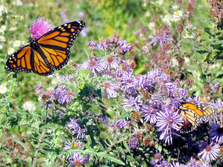 The Monarch butterflies and wildflowers on a shore of the Lake Ontario in Toronto, Canada, October 9, 2013