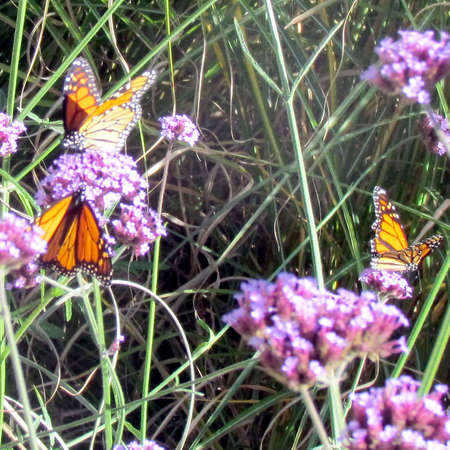 Monarch butterflies on verbena flowers on a shore of the Lake Ontario in Toronto, Canada