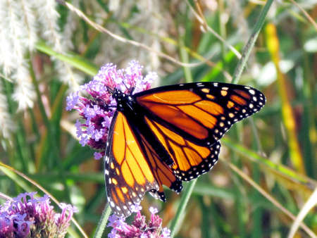 Monarch butterfly on verbena flowers on a shore of the Lake Ontario in Toronto, Canada Banco de Imagens