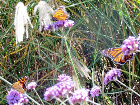 The Monarch butterflies on a verbena flower on a shore of the Lake Ontario in Toronto, Canada Banco de Imagens - 97988423