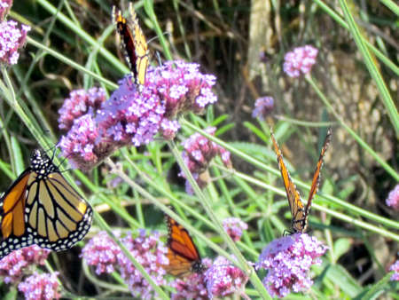 The Monarch butterflies on the verbena flower on a shore of the Lake Ontario in Toronto, Canada Stock fotó