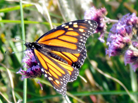 The Monarch butterfly on a verbena flower on a shore of the Lake Ontario in Toronto, Canada