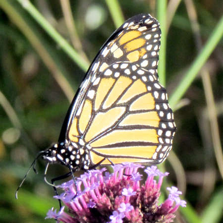 The Monarch butterfly on verbena flower on a shore of the Lake Ontario in Toronto, Canada Banco de Imagens - 94842131