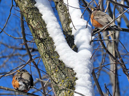 American Robins on a tree in High Park of Toronto, Canada.