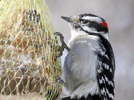 Downy Woodpecker in High Park of Toronto, Canada, January 30, 2018 Stock Photo