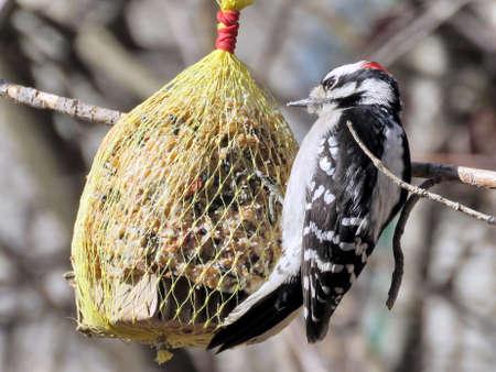Downy Woodpecker on a feeding trough in High Park