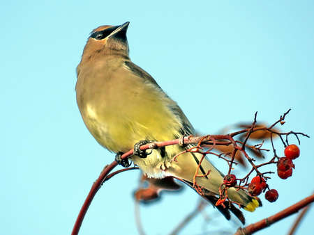 Cedar waxwing on a rowanberry branch in forest of Thornhill, Canada, November 20, 2017