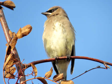 The cedar waxwing in forest of Thornhill Stock Photo