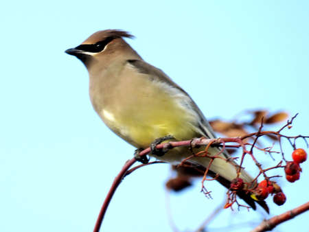 The cedar waxwing on a branch in forest of Thornhill, Canada, November 20, 2017