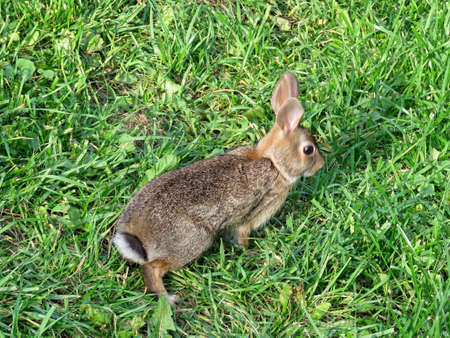 Eastern cottontail rabbit on the grass