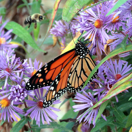 Monarch butterfly on the purple wild aster in forest of Thornhill, Canada, September 25, 2017 新聞圖片