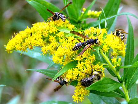 Wasps on a Goldenrod flower in forest of Thornhill, Canada, October 6, 2017