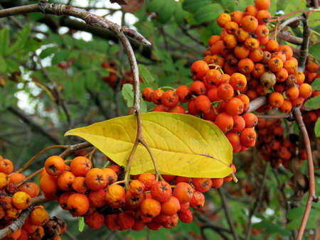 Cluster of mountain ash in forest of Thornhil,  October 6, 2017 写真素材