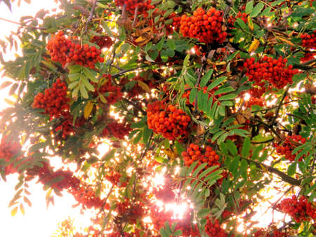 Clusters of mountain ash in forest of Thornhil, Canada, September 27, 2017