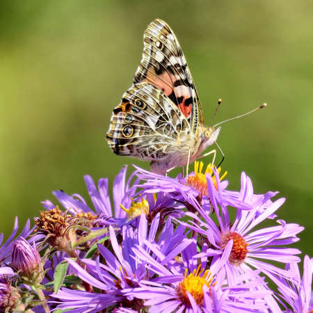 Red Admiral butterfly on wild aster in forest of Thornhil, Canada.