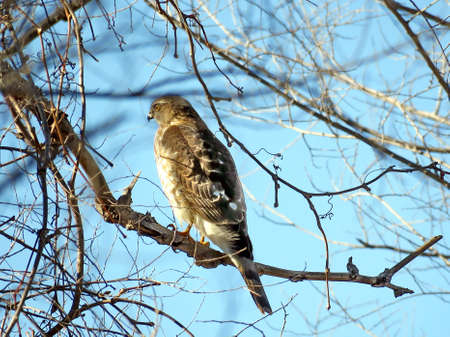 Coopers Hawk in a forest of Thornhill, Canada, Februarly 25, 2018 Stock fotó