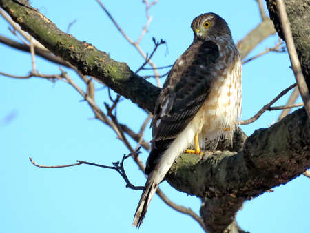 The Coopers Hawk on a branch in a forest of Thornhill, Canada, Februarly 25, 2018