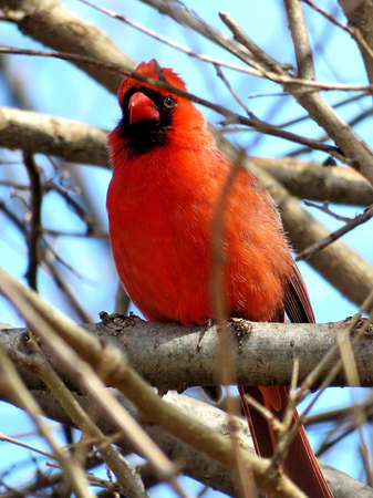 Male Northern cardinal on a branchl in forest of Thornhill, Canada, March 11, 2018                                 Sajtókép