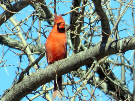 Male Northern cardinal on a tree in forest of Thornhill, Canada, March 24, 2018                                 Sajtókép