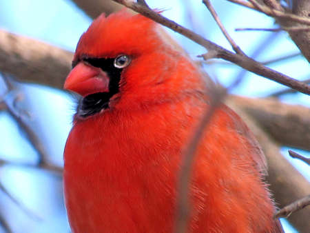 Portrait of male Northern cardinal in forest of Thornhill, Canada, March 11, 2018