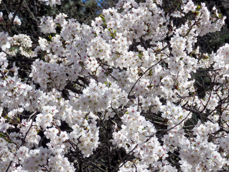 Cherry blossom in High Park of Toronto, Canada, May 8, 2018