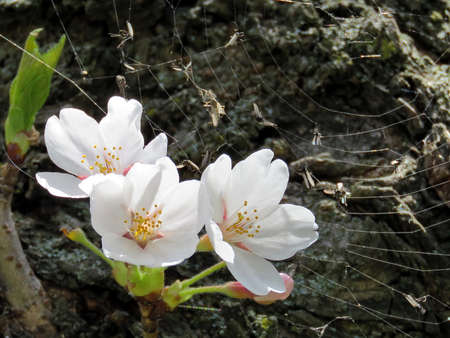 Cherry blossom on a trunk in High Park of Toronto, Canada, May 8, 2018