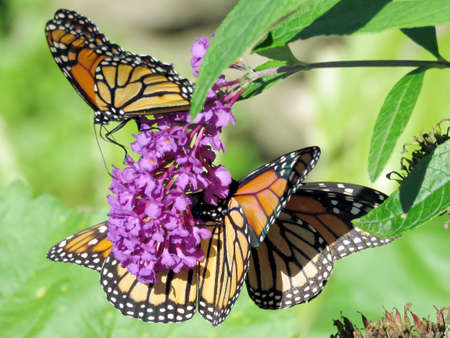 Three Monarchs on a buddleja flower in High Park of Toronto, Canada, Sep 28, 2018